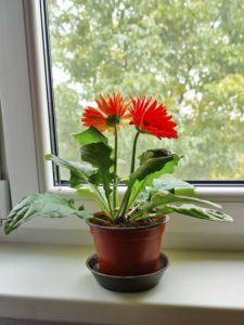 Gerbera daisy plants are TOO CUTE! I love how they clean your air and are safe for kitties!