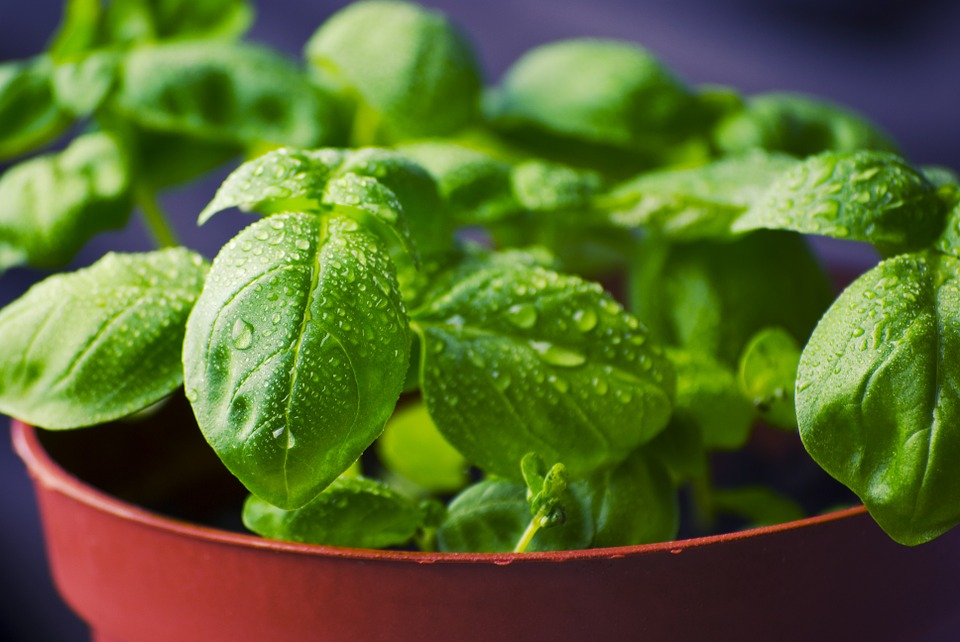 Basil for Indoor Gardens